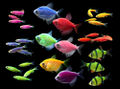 17-GloFish-Fluorescent-Fish-Group-Photo-with-NEW-Striped-Green-Barb.jpg